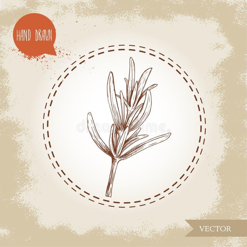 Ręka rysująca nakreślenie stylu rozmarynów gałąź herb czosnków bay kardamonowi liści pieprzowe spice waniliowe rosemary soli Włos ilustracja wektor