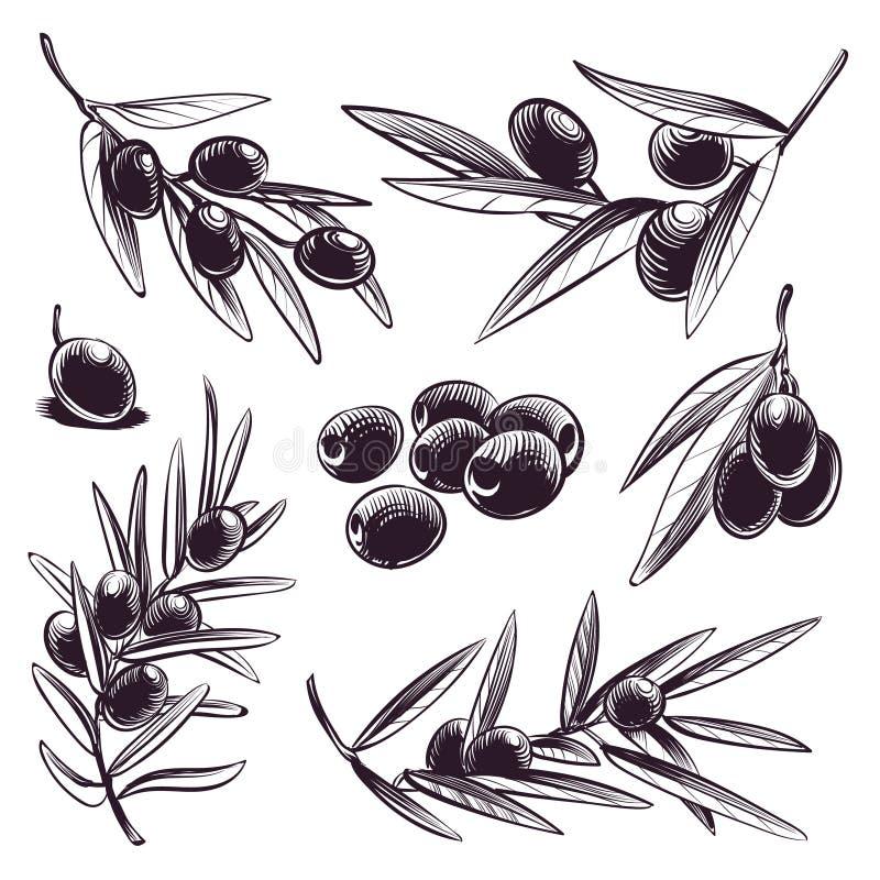 Ręka rysująca oliwka Drzewni śniadanio-lunch z oliwkami i liśćmi Rocznika nakreślenie Greece i Spain wektorowy jedzenie grawerowa ilustracji