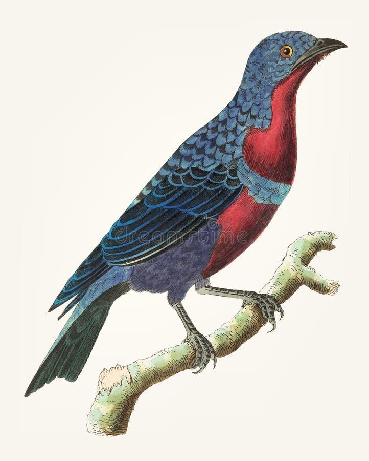 Ręka rysująca purpura breasted gaduła ilustracja wektor