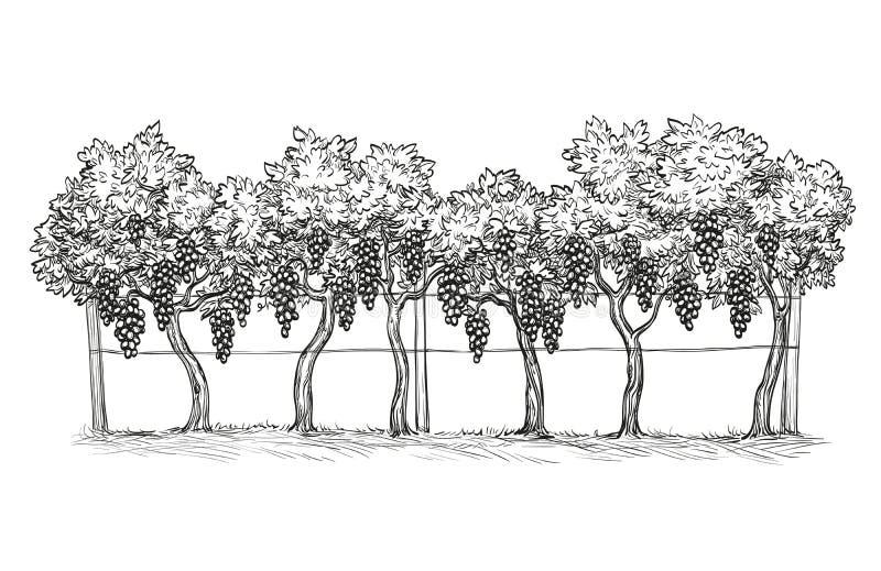Ręka rysująca wektorowa ilustracja winnica ocet ilustracji