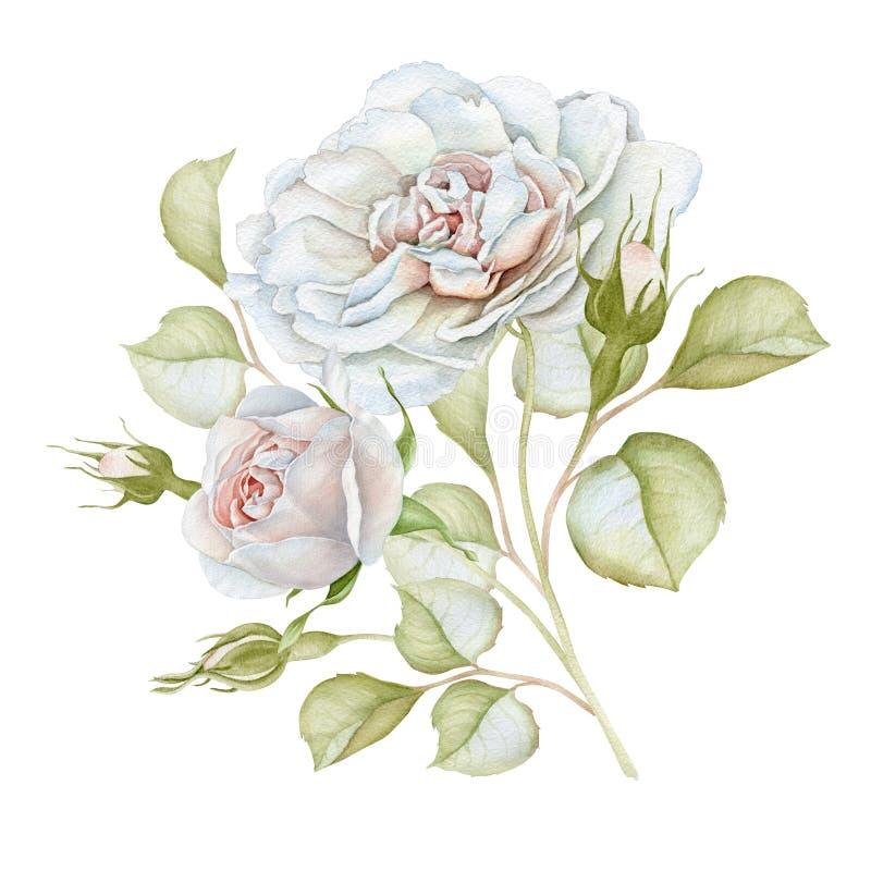 Ręka rysujący akwareli białych róż delikatny bukiet ilustracji