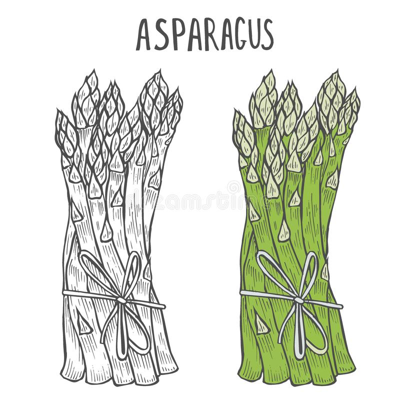 Ręka rysujący asparagus ilustracji