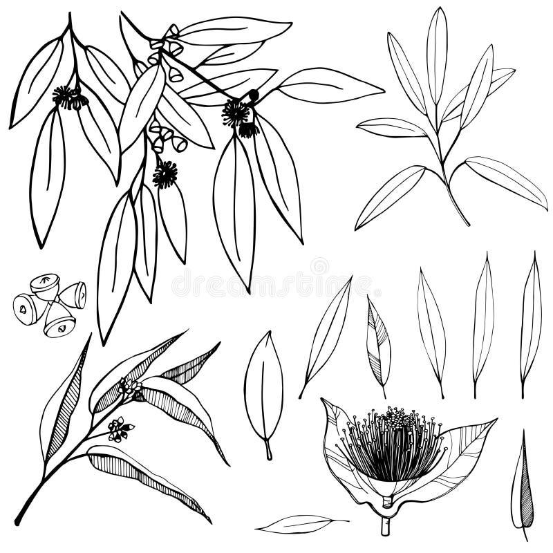 Ręka rysujący eukaliptus Wektorowa nakreślenie ilustracja ilustracji