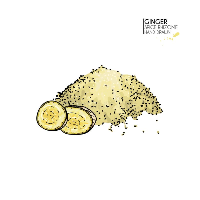 Ręka rysujący imbiru korzenia proszek, mąka Wektor barwiąca grawerująca ilustracja Korzenny warzywo Karmowy składnik royalty ilustracja