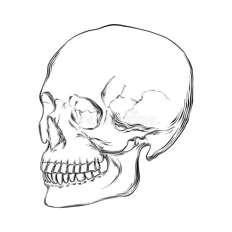 Ręka rysujący nakreślenie ludzka czaszka w czerni odizolowywającym na białym tle Szczegółowy rocznik akwaforty stylu rysunek royalty ilustracja