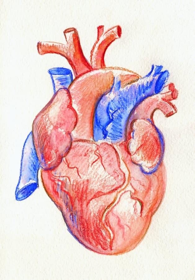 Ręka rysunku nakreślenia anatomiczny serce Barwiony akwarela ołówek ilustracja wektor