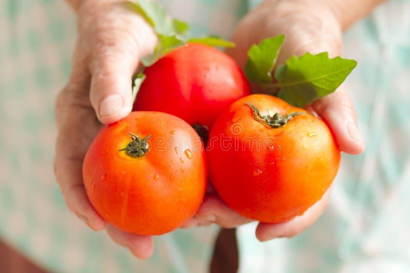 Ręka trzyma świeżego pomidoru od życiorys gospodarstwa rolnego starsza kobieta zdjęcie royalty free
