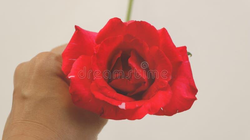 Ręka Trzyma Świeżej Żywej rewolucjonistki róży obraz stock