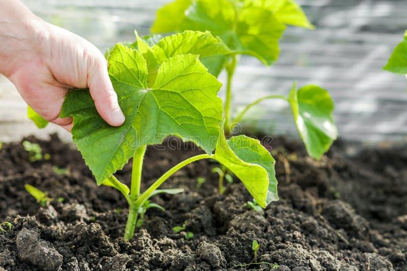Ręka trzyma flancy ogórek rolnik Ogórki: flancowanie, dorośnięcia i zbierać ogórki zdjęcie royalty free