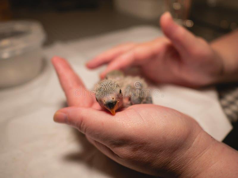 Ręka trzyma nowonarodzonego lovebird zbliżenie zdjęcia royalty free