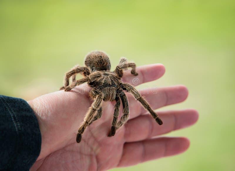 Ręka trzyma tarantula pająka fotografia stock