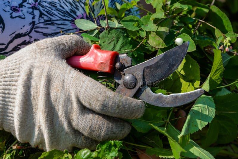 Ręka w rękawiczce z ogrodowymi cążkami ciie krzaka zdjęcia royalty free