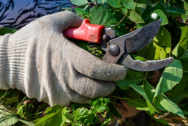 Ręka w rękawiczce z ogrodowymi cążkami ciie krzaka obrazy stock