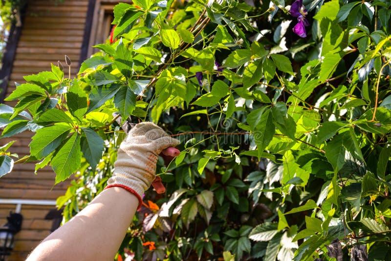 Ręka w rękawiczce z ogrodowymi nożycami żyłuje dzikich winogrona fotografia stock