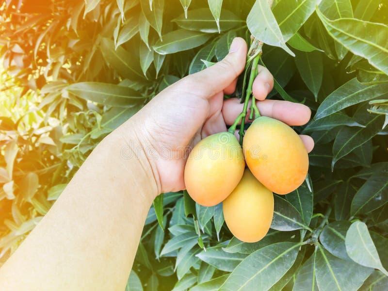 Ręka - wybór mangowa śliwkowa owoc od drzewa w tropikalnym ogrodowym widoku obraz stock