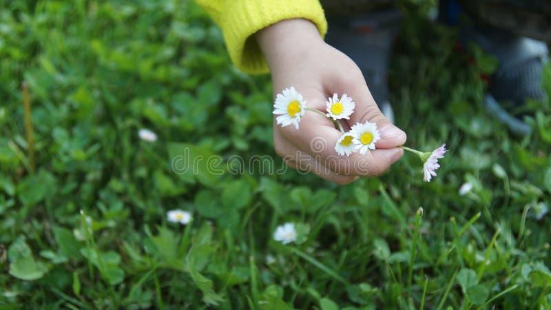 Ręka z kwiatami Dawać kwiaty chamomile obrazy stock