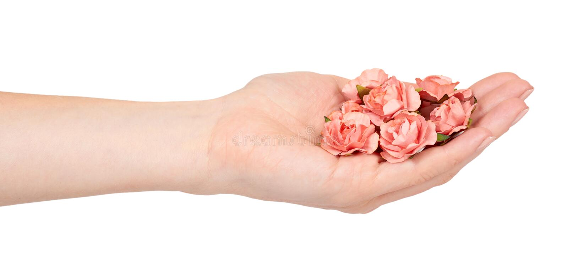 Ręka z kwitnienie menchiami kwitnie, dekoracyjna roślina, romantyczny nastrój obraz stock