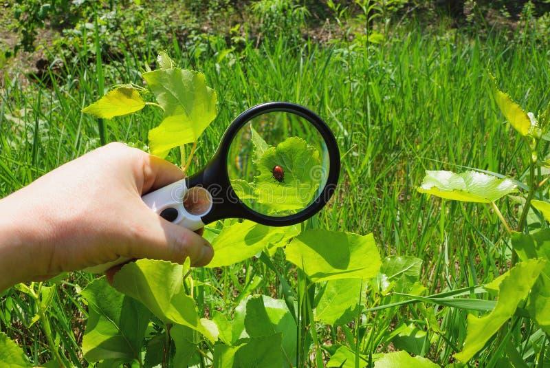 Ręka z magnifier wzrasta czerwonej ścigi na zielonym liściu roślina obrazy stock