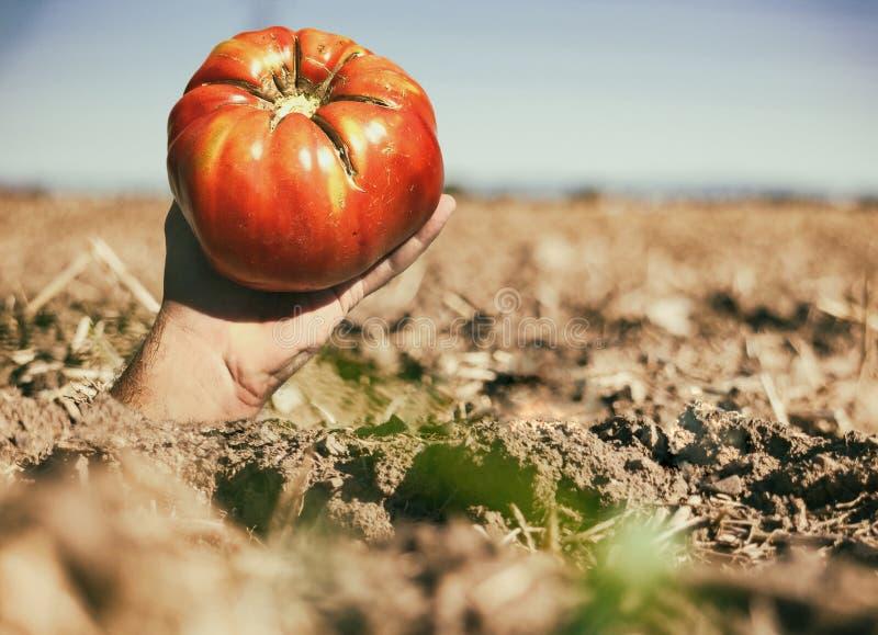 Ręka z pomidorem na uprawy ziemi zdjęcia stock