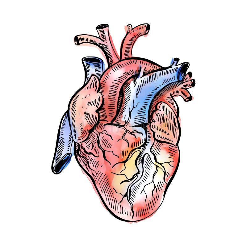 Ręki akwareli rysunkowego nakreślenia anatomiczny serce Doodle zentangle wektoru ilustracja ilustracji