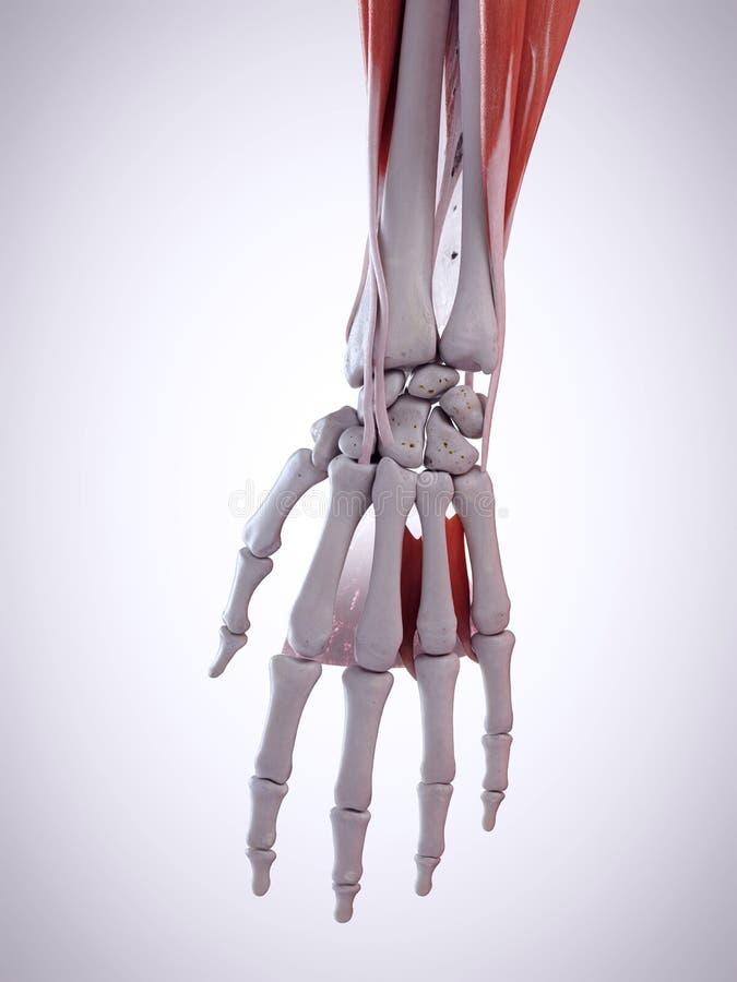 Ręki anatomia ilustracji