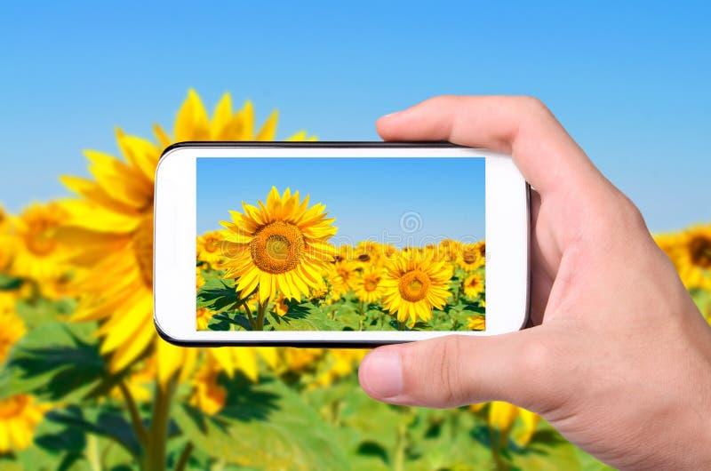 Ręki bierze fotografia słonecznika z smartphone fotografia royalty free