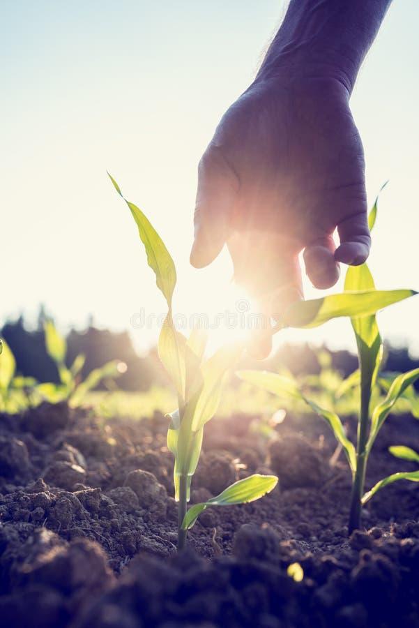 Ręki dojechania puszek młoda kukurydzy roślina zdjęcia royalty free