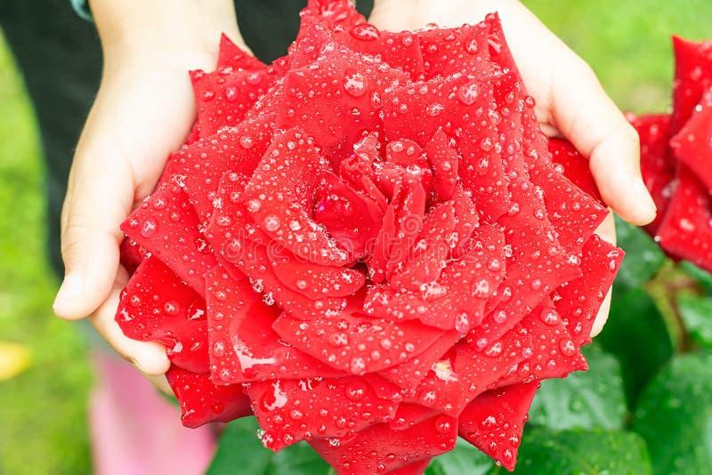 Ręki dziewczyna chwyt na rozpieczętowanym róża pączku po deszczu troszkę obrazy stock