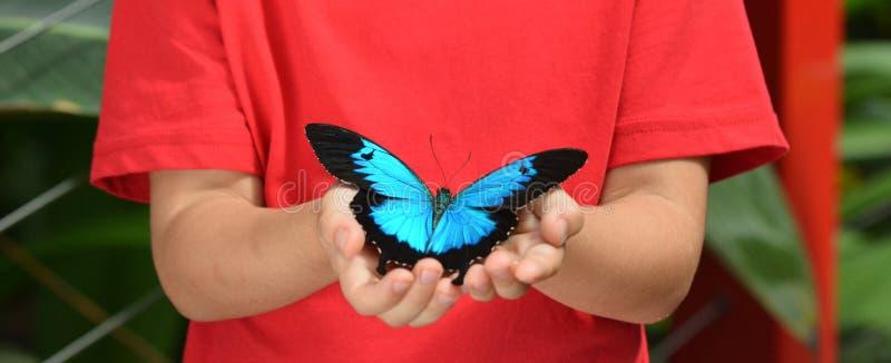 Ręki dziewczyna troszkę trzymają Ulysses Swallowtail zdjęcie stock