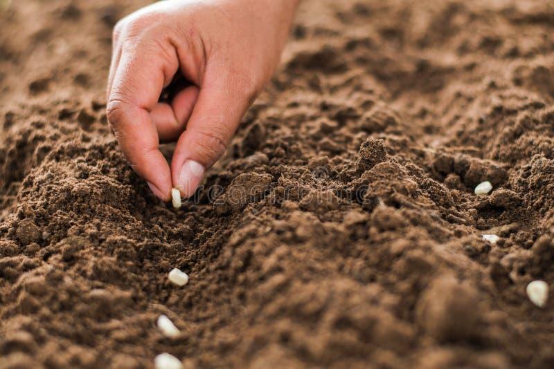 ręki flancowania kukurudzy ziarno szpik kostny w warzywie obraz stock