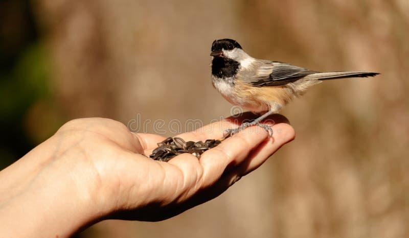 Ręki karmienie Nakrywający chickadee fotografia stock