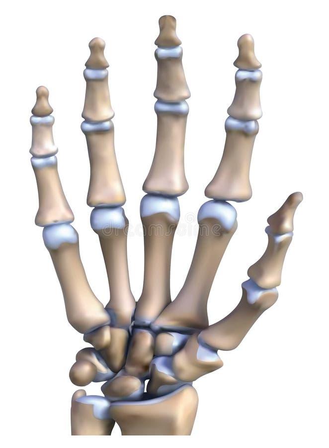 Ręki kości anatomia ilustracji