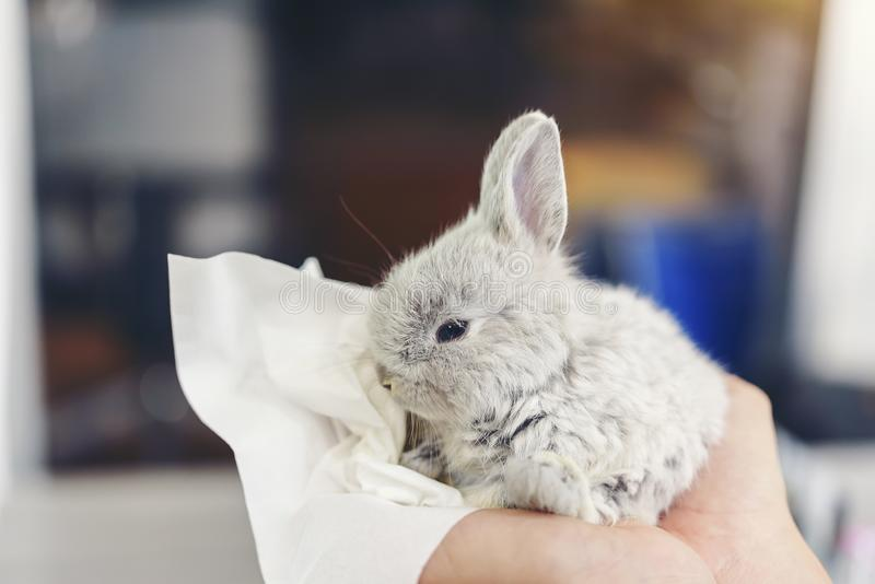 Ręki kobieta trzymają małego szarego królika są chore zdjęcia stock