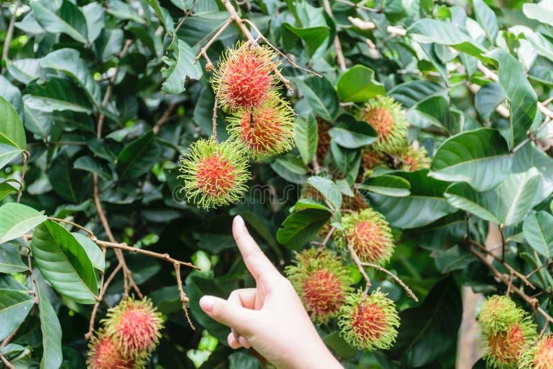 Ręki mienia bliźniarki owoc zdjęcie royalty free