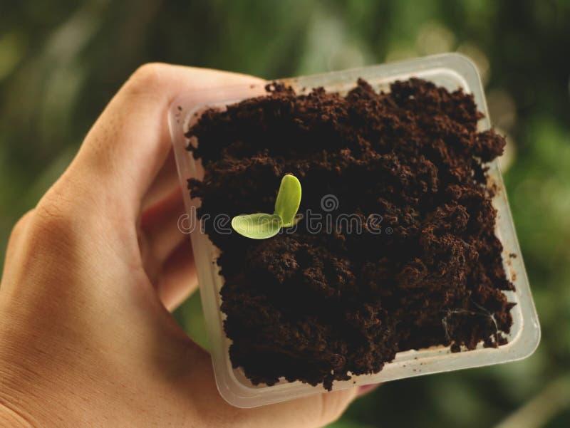 Ręki mienia kwadrata Plastikowa filiżanka kwiatu ziarna dorośnięcie w kawie - Naturalny Zielony tło zdjęcie royalty free