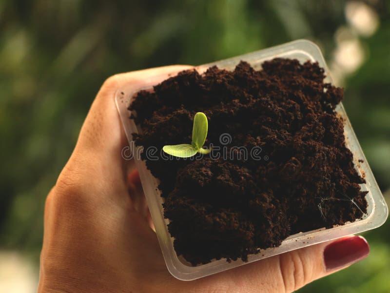 Ręki mienia kwadrata Plastikowa filiżanka kwiatu ziarna dorośnięcie w kawie - Naturalny Zielony tło obrazy royalty free