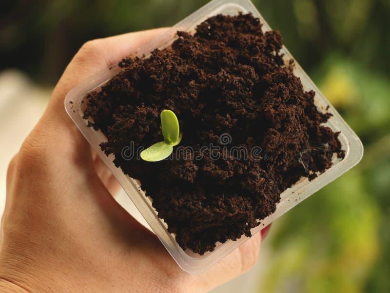Ręki mienia kwadrata Plastikowa filiżanka Słonecznikowego ziarna dorośnięcie w kawie obrazy royalty free