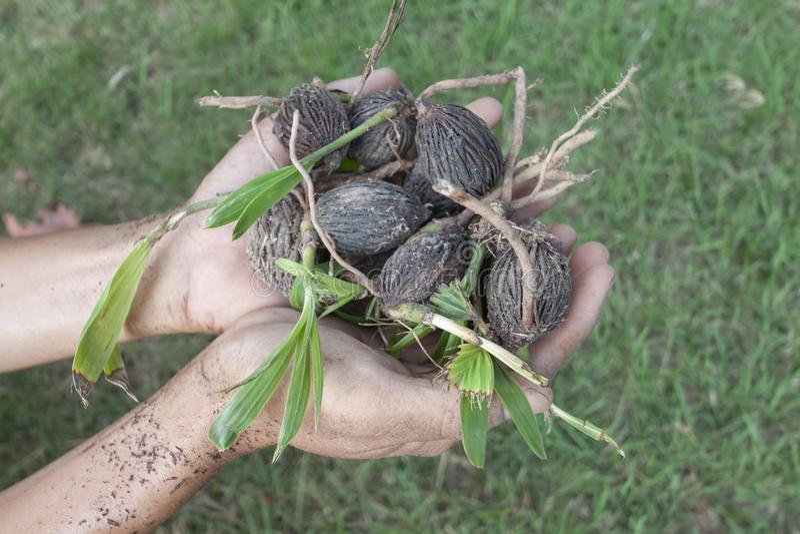 Ręki mienia rozsada drzewko palmowe bru palma fotografia stock