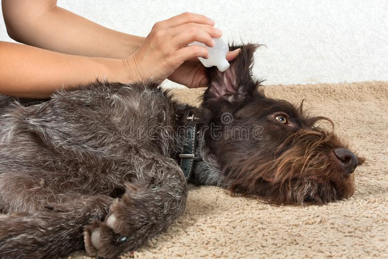 Ręki myje ucho pies z remedium zdjęcia stock