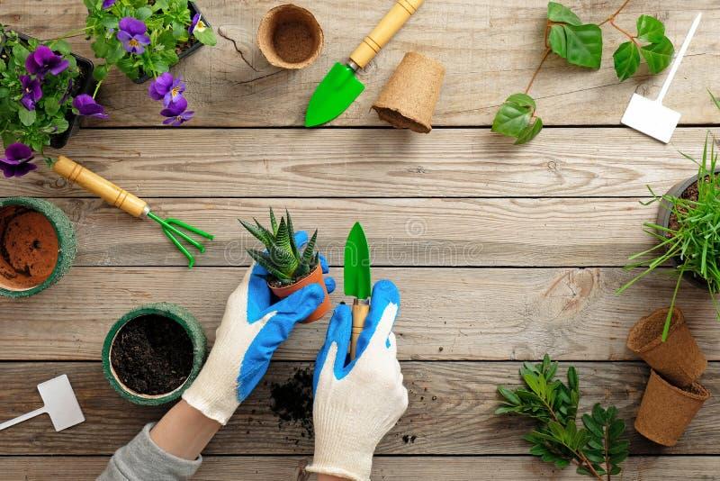 Ręki ogrodniczka zasadza kwiatu w garnku z brudem lub ziemią w rękawiczkach Wiosna ogród pracuje pojęcie Mieszkanie nieatutowy sk zdjęcia royalty free