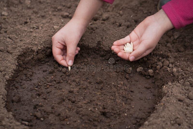 Ręki rośliny ziarno kabaczek Na ziemi W ogródzie zdjęcia stock