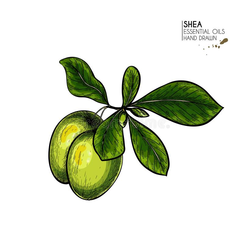 Ręki rysować masłosz rośliny dokrętki i gałąź Graweruj? barwi? wektorow? ilustracj? Lecznicza, kosmetyczna roślina, nawil?anie ilustracji
