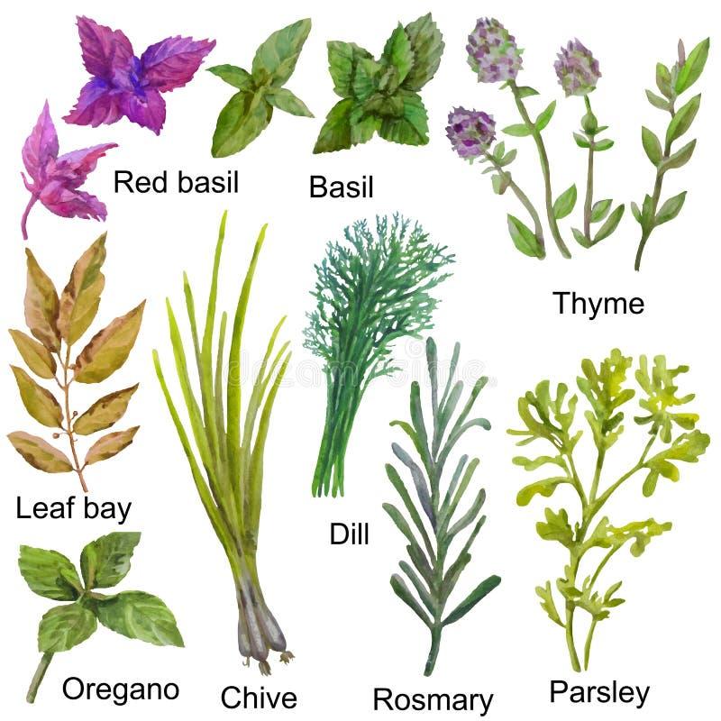 Ręki rysujący akwareli ziele dla gotować Pietruszka, oregano, macierzanka, Podpalany liść, koper i basil na białym tle, ilustracji