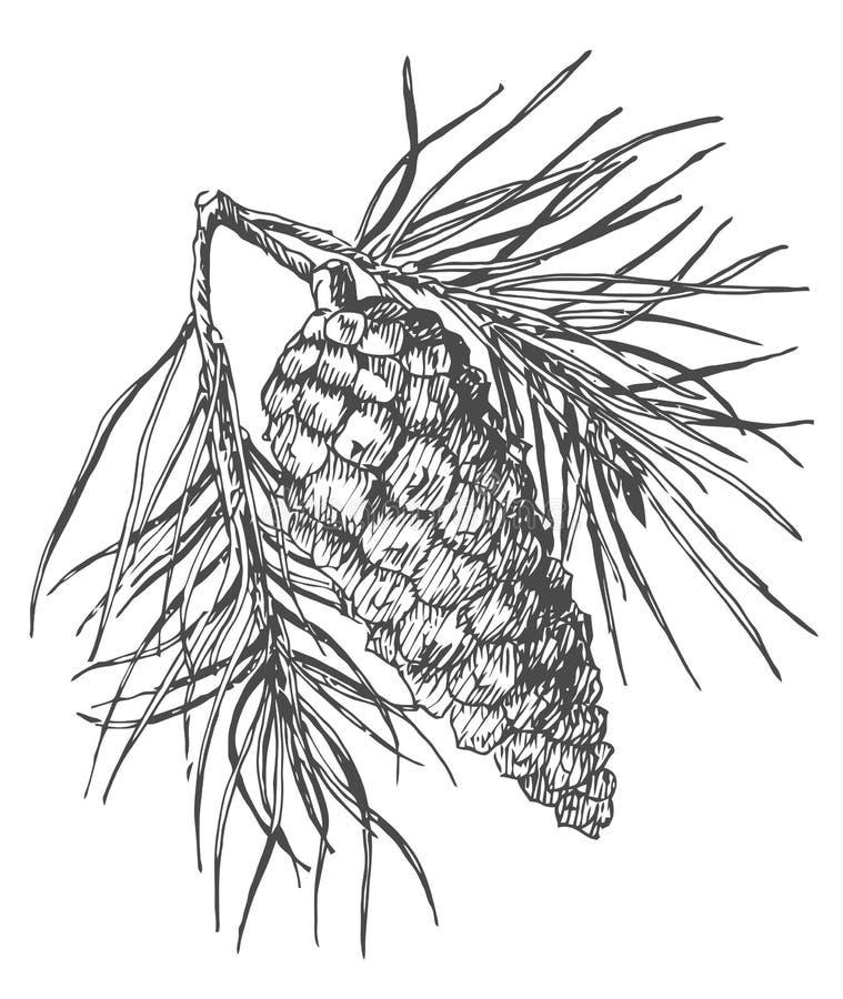 Ręki sosny rysunkowy rożek na jodły gałąź z igłami ilustracji