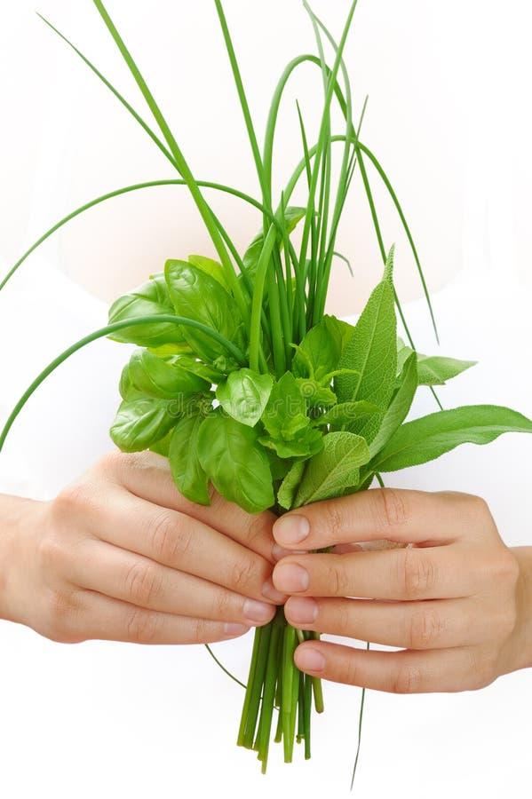 Ręki trzyma świeżych ziele młoda kobieta, basil, szczypiorek, mędrzec obraz stock