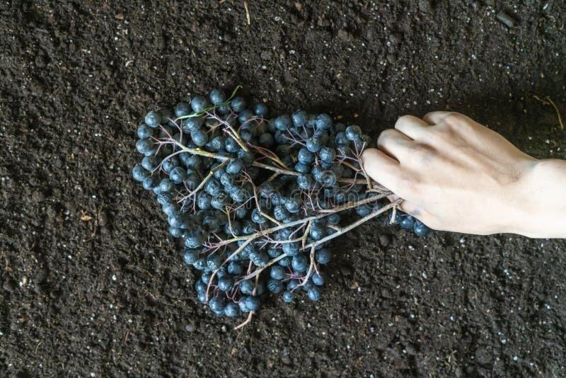 Ręki trzyma czarnej jagody rozgałęziają się na ziemi zmielony f obraz stock