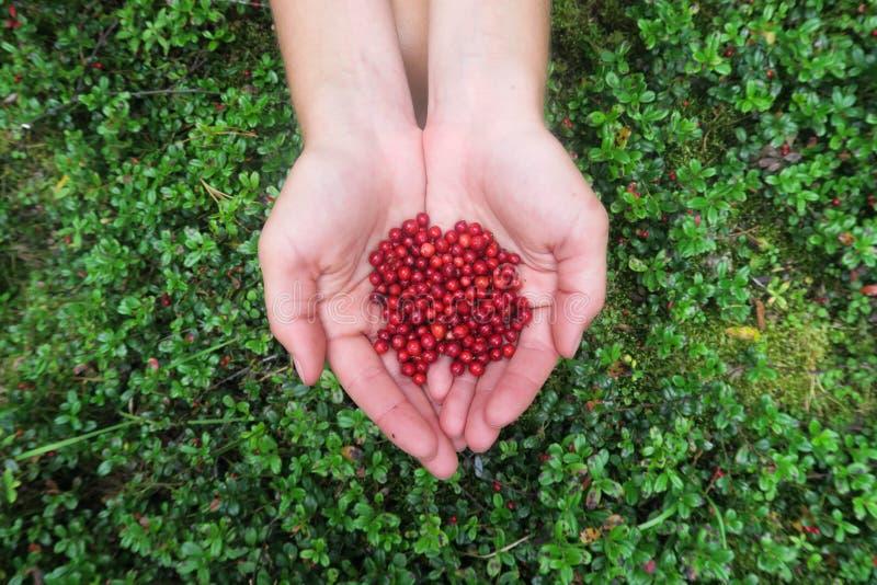 Ręki trzyma garść cranberries Zrywanie jagody zdjęcia royalty free