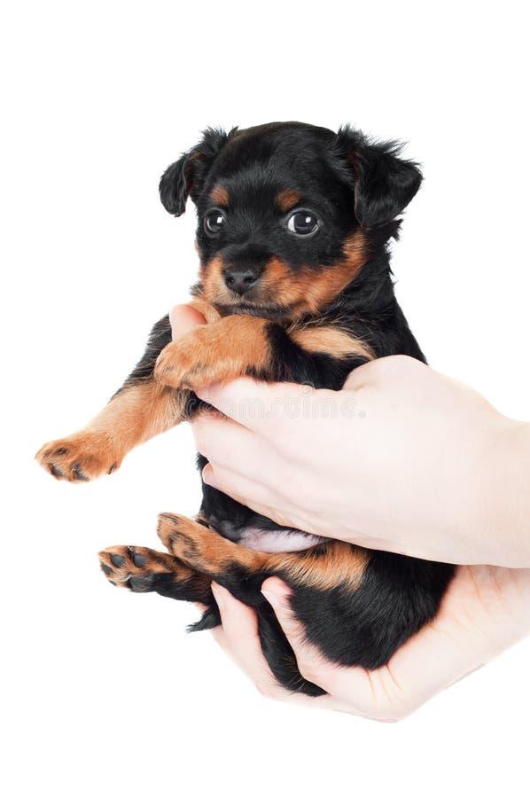 Ręki trzyma malutkiego czarnego szczeniaka obrazy stock