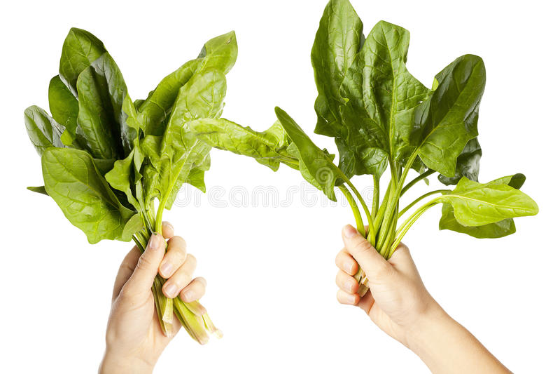 Ręki trzymający liści chards obraz stock