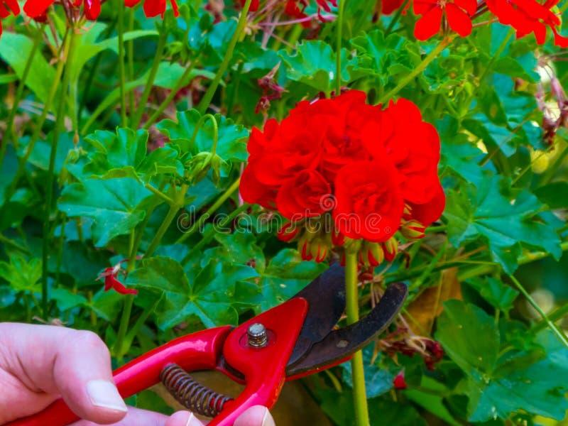 ręki używać w ogródzie strzyżenia obrazy stock
